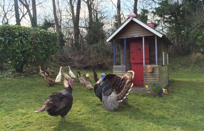 Nasraný krocan, partnerka a kachny